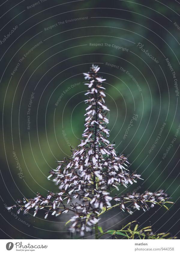 Christbäumchen Pflanze grün weiß schwarz Blüte Gras Blühend Weihnachtsbaum