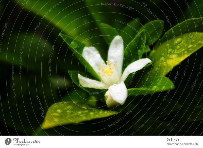 Blumenkind klein Blüte Sommer Frühling weiß grün gelb zart Angst Makroaufnahme Nahaufnahme orange Regen Urwald Reflexion & Spiegelung Wasser Schatten Nahaufname