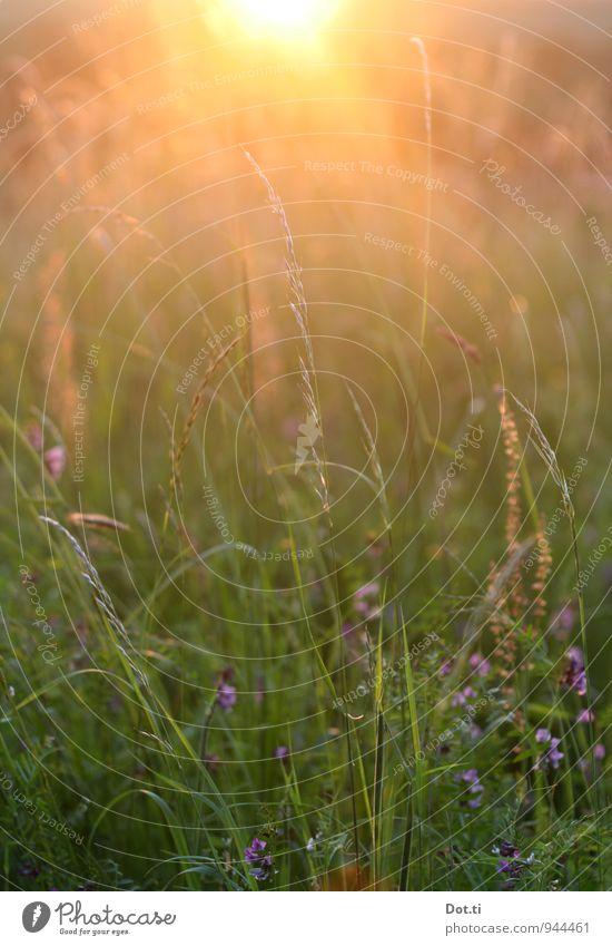 [irgendein kitschiger Titel] Umwelt Natur Pflanze Sonne Sonnenaufgang Sonnenuntergang Sonnenlicht Sommer Schönes Wetter Gras Wiese Kitsch Stimmung Idylle