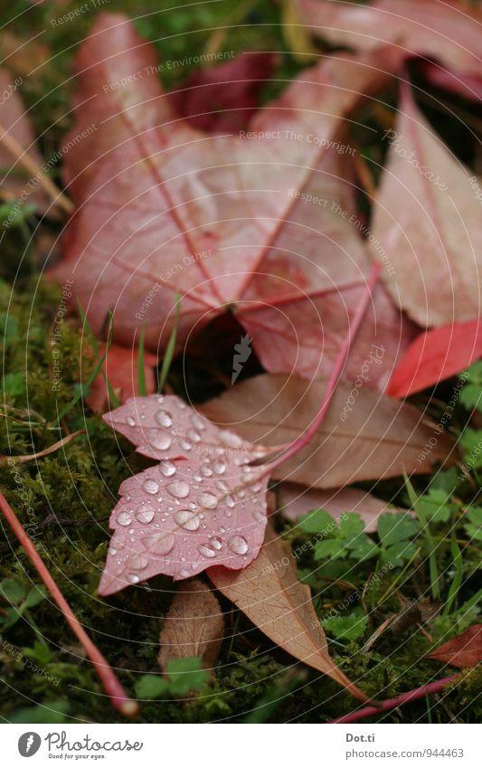 Komm mit auf's Land Natur Wassertropfen Herbst Pflanze Moos Blatt Garten grün rot Stimmung Idylle Weinblatt Tau herbstlich Farbfoto Außenaufnahme Nahaufnahme
