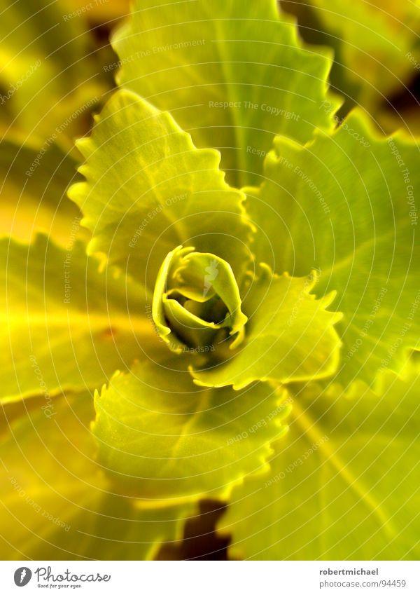 grüne rosette Pflanze Blume Gärtner Gärtnerei behutsam einzeln unten Reifezeit Wachstum klein Windung Botanik Pflanzenteile Kletterpflanzen pflanzlich Sträucher
