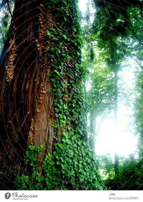 Elefantenbaum Baum Efeu Wald grün braun Licht Baumrinde Blatt Ranke schön Frühling Idylle groß Marula-Baum Macht Holz Natur gegenlich Sonne Pflanze Baumstamm