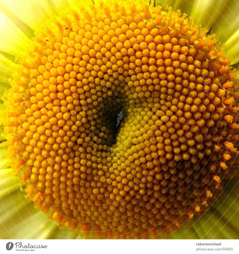 die stecknadelkissenpflanze gelb Blüte Nahaufnahme Blühend Blume Sonnenblume Bildausschnitt Pflanze Anschnitt Staubfäden Makroaufnahme Lebenskraft