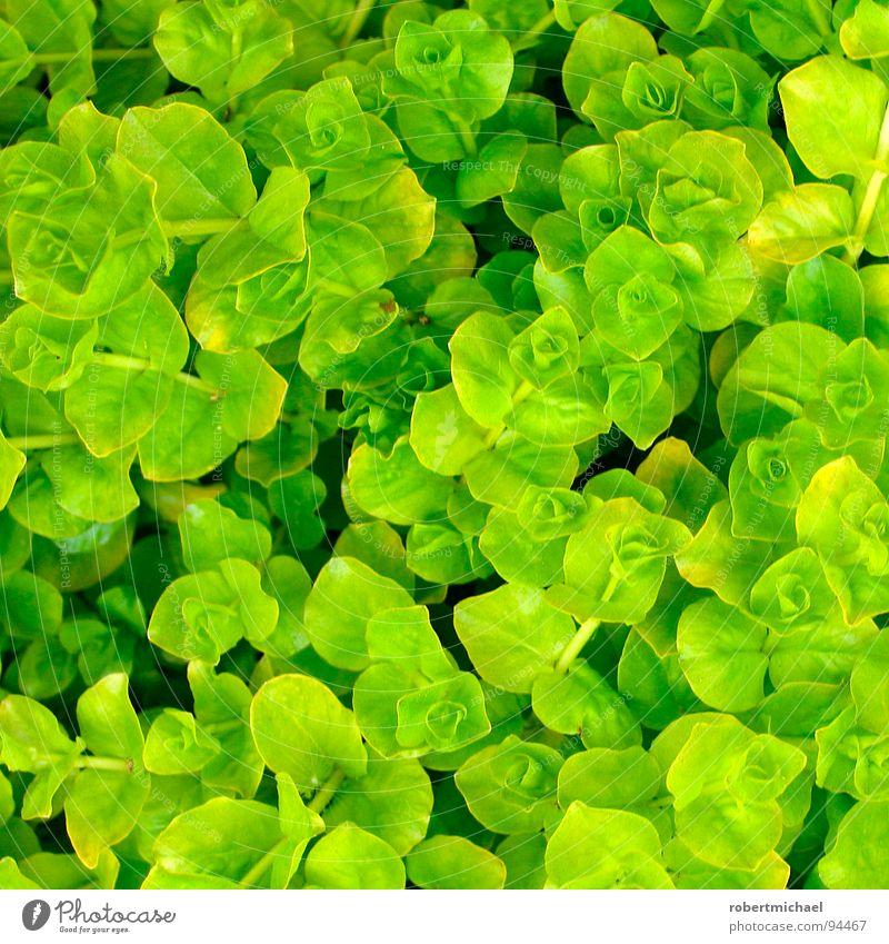 rosettenmeer an der salatbar Pflanze Blume grün Gärtner Gärtnerei behutsam einzeln unten Reifezeit Wachstum klein Windung Gras Klee Meer Rosette Kleeblatt 4
