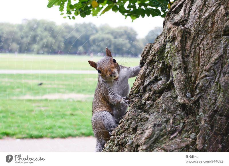Hattu Nüsschen? Natur Landschaft Baum Park Wiese Tier Wildtier Eichhörnchen 1 beobachten Fressen füttern Freundlichkeit Neugier niedlich braun grün Tierliebe
