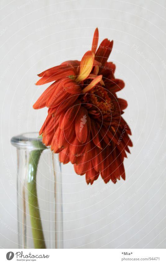 Zwetok Blume Pflanze Grünpflanze Vase rot grün Blütenblatt Frühling Gerbera Glas orange Stengel Pollen Pollenalergie tränende Augen welk