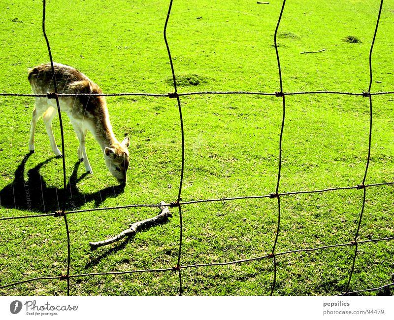 Kitz grasend grün Einsamkeit Wiese Frühling Rasen Zaun Säugetier saftig Reh Rehkitz