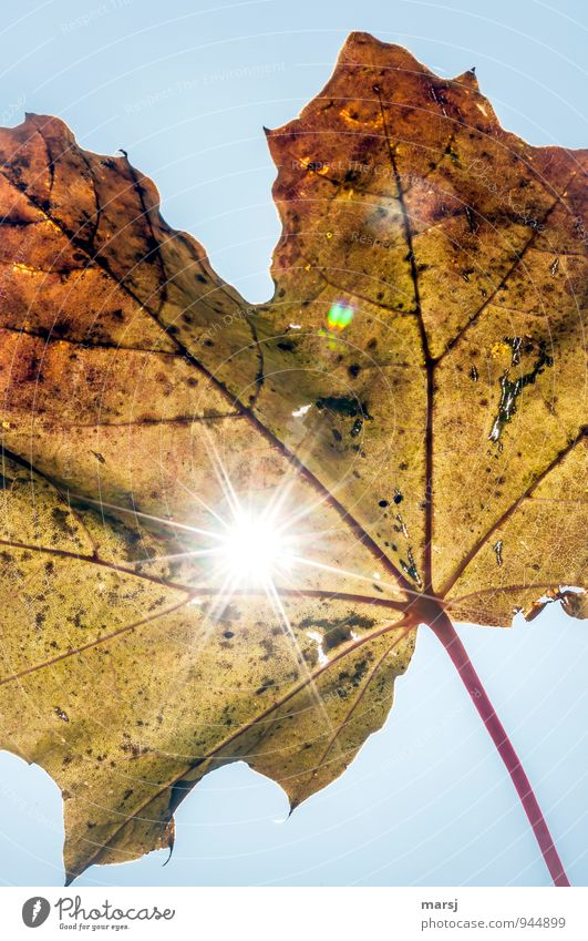 Herbstliche Lichtblicke Natur Sonne Sonnenlicht Pflanze Blatt Ahornblatt glänzend leuchten verblüht authentisch Erfolg einzigartig kaputt natürlich mehrfarbig