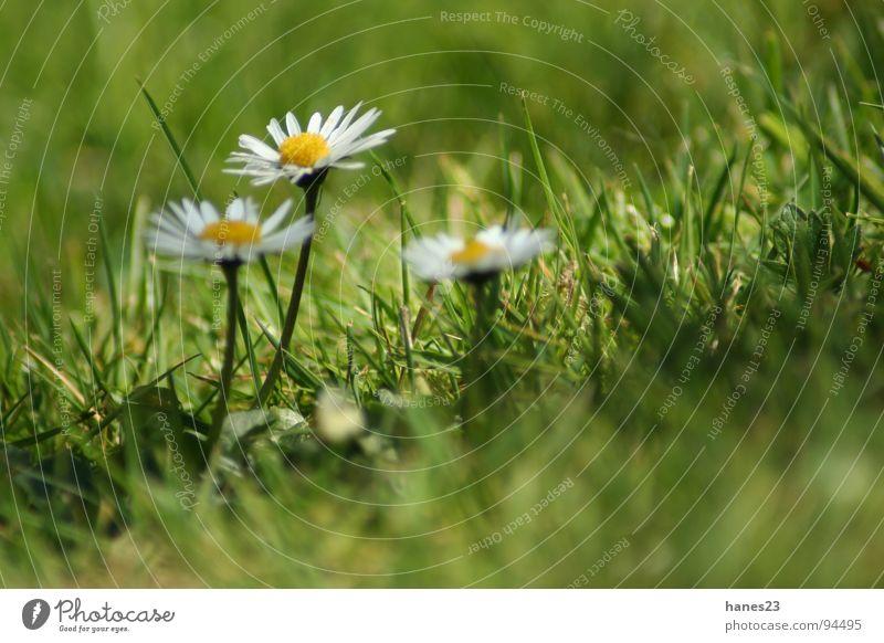 Grasgeflüster #1 Frühling Sommer Blume Wiese Gänseblümchen grün Blüte Tiefenschärfe Makroaufnahme Nahaufnahme Rasen Garten