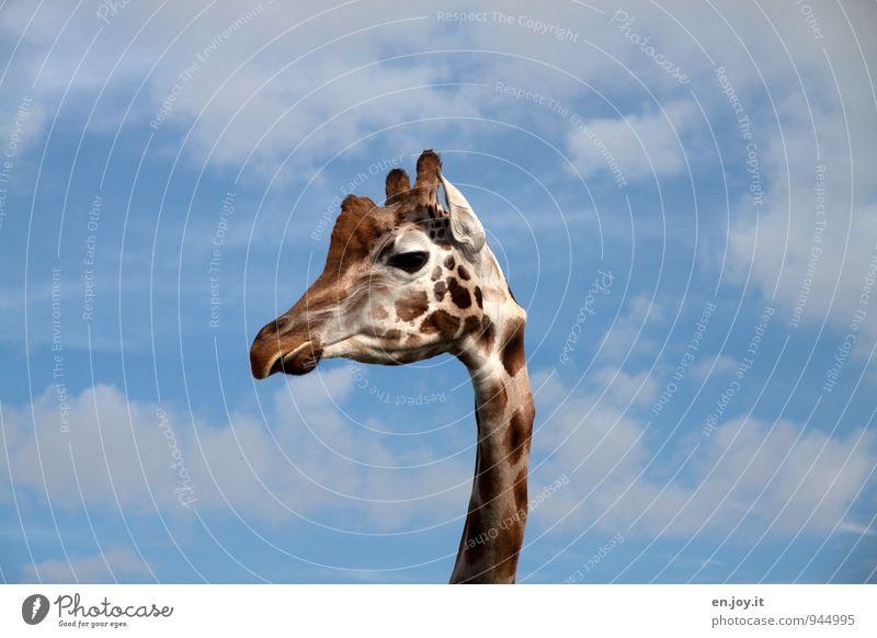 Halloooooo Tier Wildtier Tiergesicht Zoo Giraffe 1 beobachten blau braun weiß Tierliebe Lebensfreude Neugier Kopf Hals Fleck gefleckt Horn Ohr dünn lang hoch