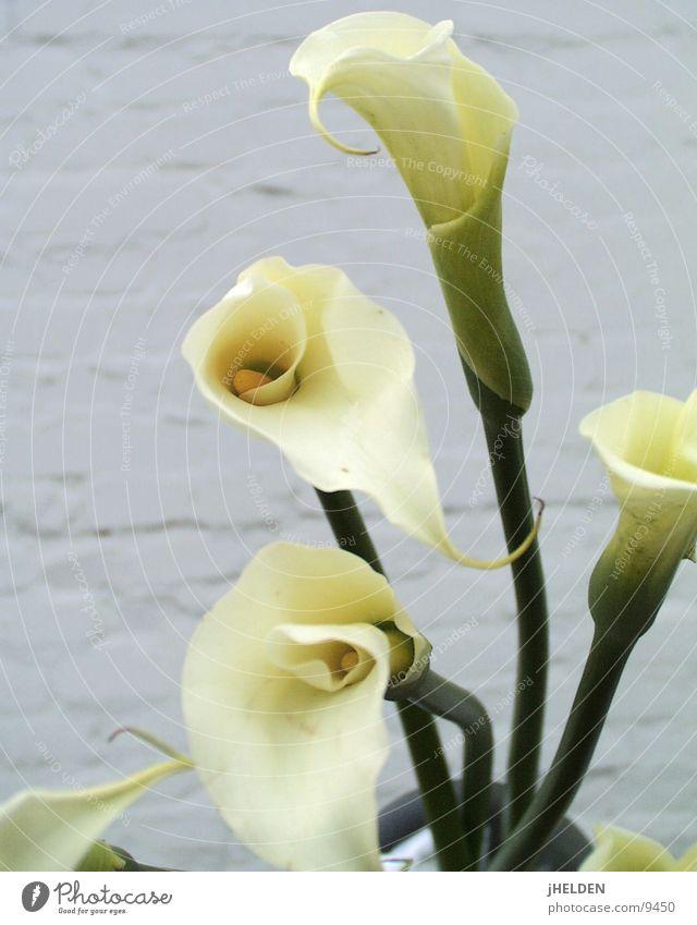 Kallas 07 Natur weiß schön Pflanze Sommer Blume Wand Gefühle Frühling Garten Blüte Stein Mauer Stil Stimmung elegant