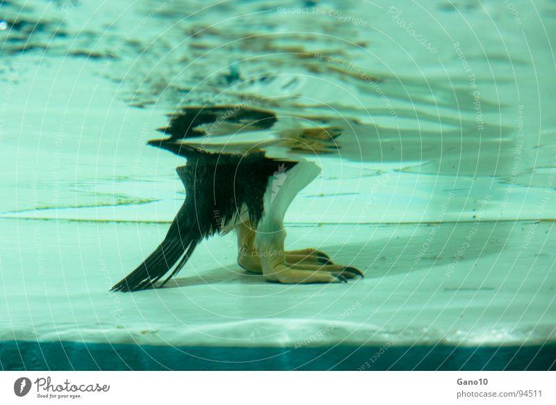 Pinguinitis Unterwasseraufnahme Tier kalt Vogel Zoo Pinguin