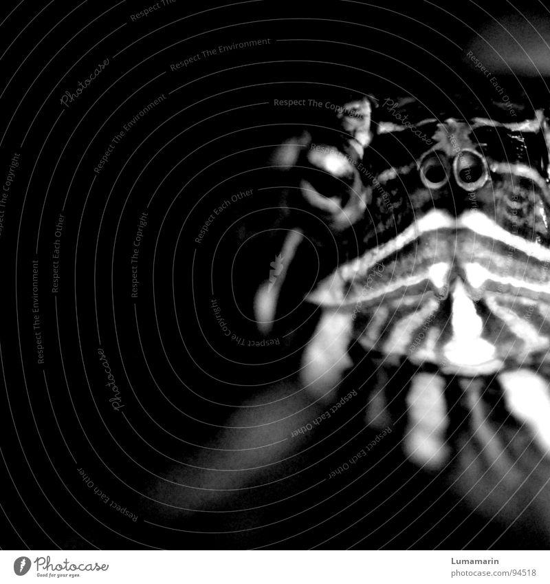 Gesichtsausdruck weiß schwarz Auge Tier kalt dunkel Linie Mund Nase Streifen Maske nah Gemälde Haustier hart