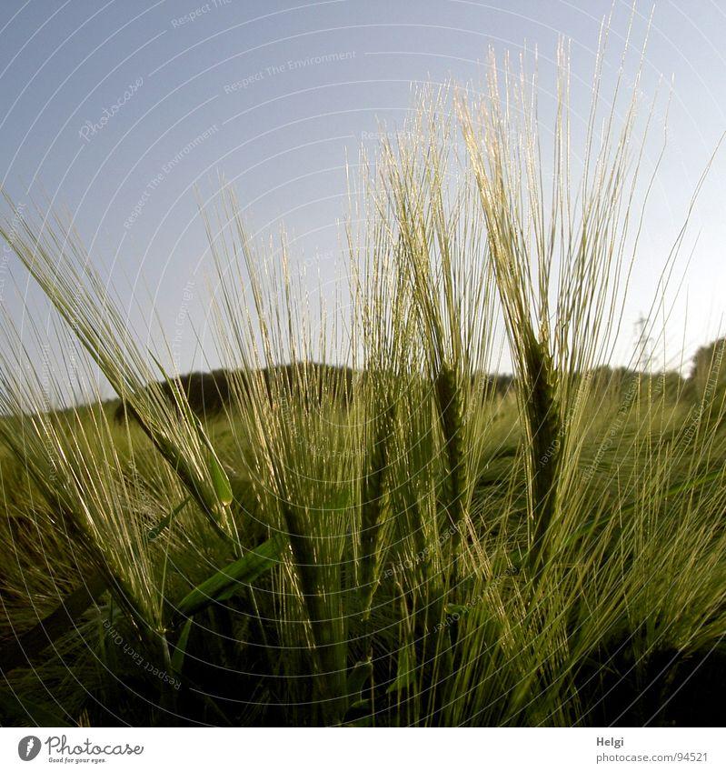 Gerste Feld Bauernhof Landwirtschaft Halm Gegenlicht Hügel Strommast grün zart Pflanze Frühling Getreide Korn Schatten Sonne Himmel Abend blau Gerstensaft