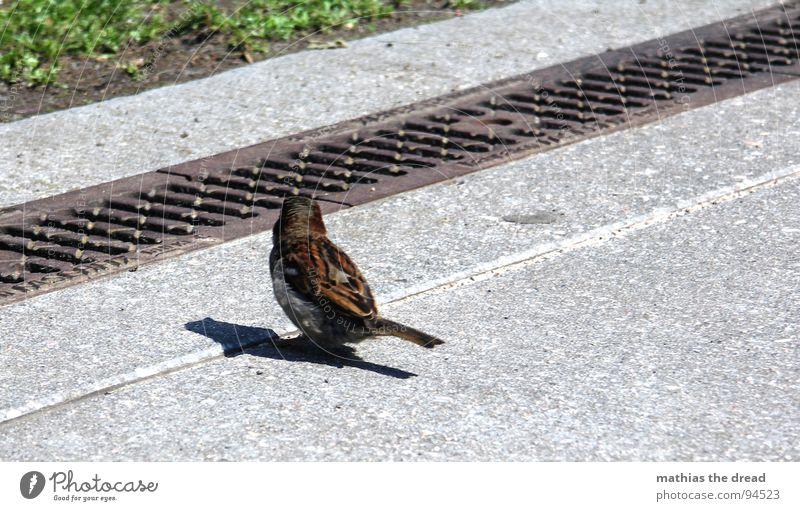 ... warten ... Wiese Gras Grünfläche Beton hart kalt grau Wasserrinne Rinnstein Abfluss parallel Vogel klein Tier Wegsehen zierlich Rasen Maserung Natur Linie