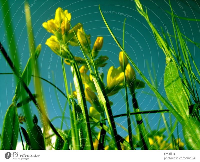 Sunday flowers gelb springen Natur Makroaufnahme Pflanze blue sun light fun grass grassland meadow pasture plants blossoms