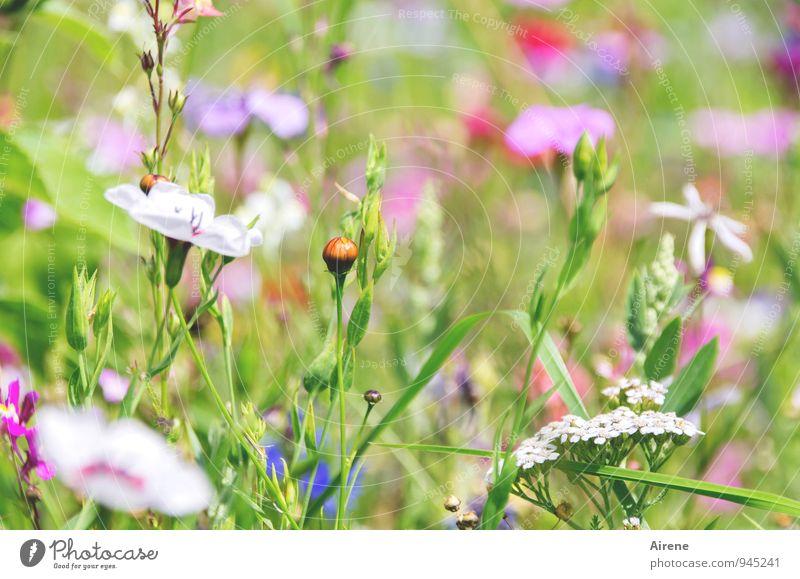 verletzlich Pflanze Blume Gras Wiese Blumenwiese Blühend hell mehrfarbig grün rosa weiß hellgrün zart zartes Grün lieblich sommerlich Garten Natur natürlich