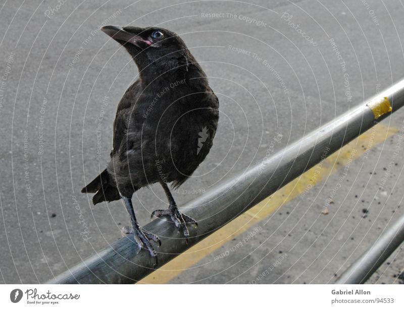 Rabe schwarz gelb grau Linie Vogel Metall glänzend nah Tier Geländer Rabenvögel Krähe Fahrbahnmarkierung