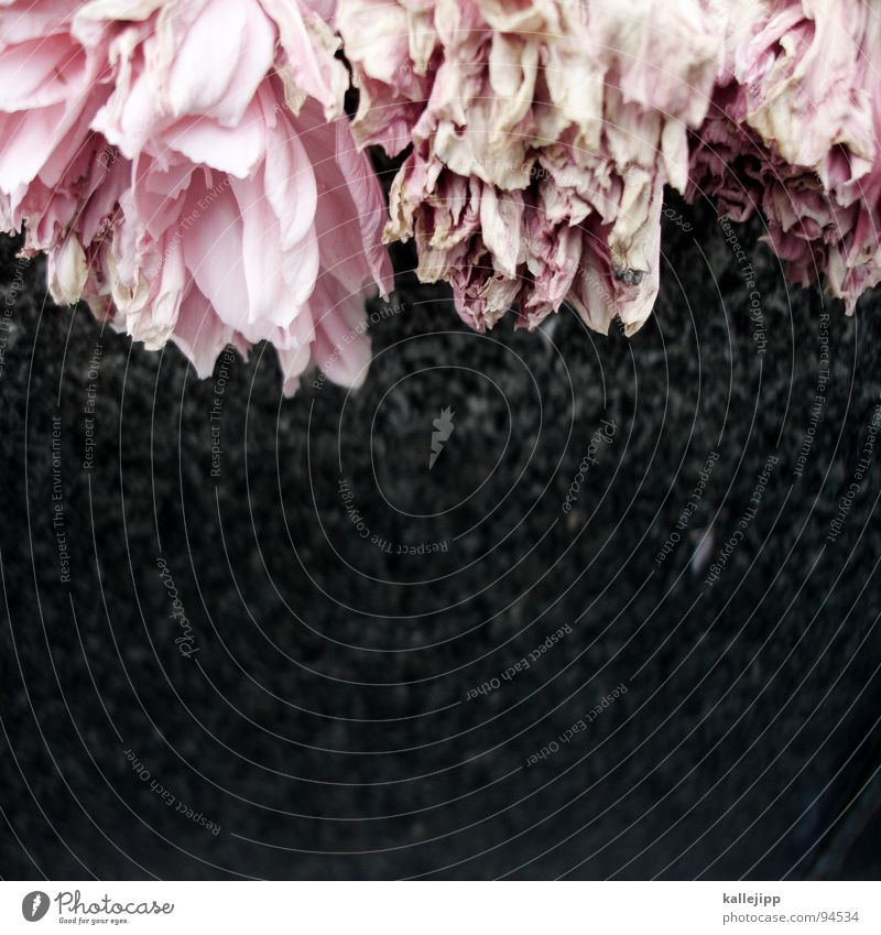 R.I.P. Blume ruhig Traurigkeit Tod rosa Vergänglichkeit Trauer Vergangenheit Ende Blütenblatt Friedhof welk verblüht Grab Grabstein Nelkengewächse
