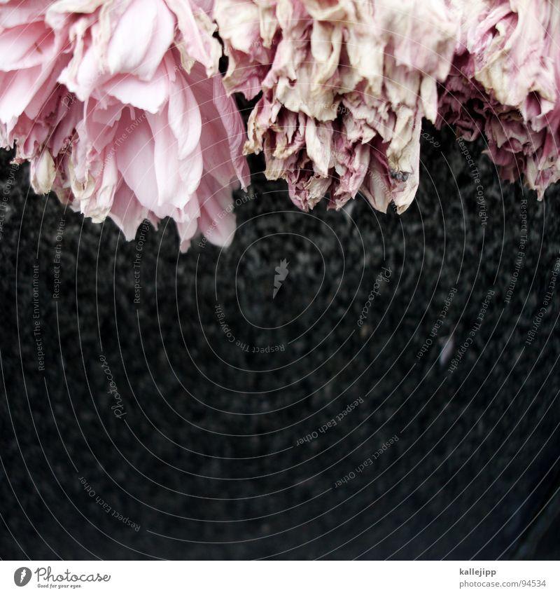 R.I.P. Blume welk Grab Grabstein ruhig Friedhof Tod Trauer Pfingstrose rosa Traurigkeit Nelkengewächse Blütenblatt verblüht Vergangenheit Vergänglichkeit Ende