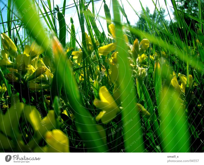 Sunday green gelb springen Natur Makroaufnahme Pflanze flowers blue sun light fun grass grassland meadow pasture plants blossoms