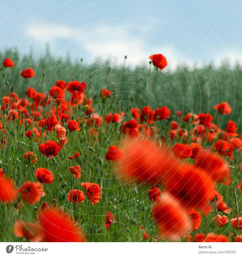 klatsch frisch fruchtig mehrere Klatschmohn rot zart stachelig offen grün mehrfarbig Blühend Sommer Blüte Grünpflanze Bewegungsunschärfe Mohnfeld knallig