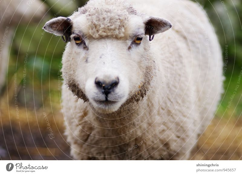 mäh! Tourismus Natur Tier Tiergesicht Fell Schaf 1 Blick bedrohlich Ohrringe Piercing Wolle Farbfoto Außenaufnahme Textfreiraum unten Starke Tiefenschärfe
