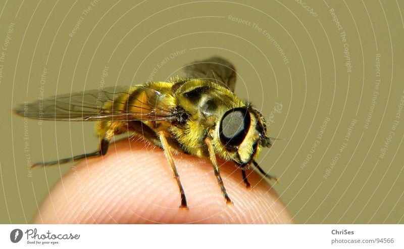 Grosse Schwebfliege 01 Wespen Schweben gelb schwarz Insekt Finger Tier Sommer Gliederfüßer Zweiflügler Makroaufnahme Nahaufnahme Angst Panik fauna frühling Auge