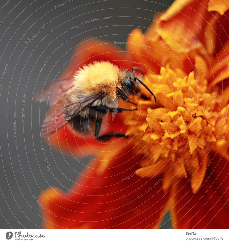 Hummel sammelt Nektar auf einer Tagetes an einem warmen Spätsommertag Bombus Nektar sammeln Studentenblume Nektarsammler letzte Sommertage Sommerende