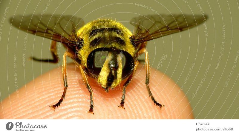 Grosse Schwebfliege 02 Sommer schwarz Auge Tier gelb Angst Finger Flügel Insekt Schweben Panik Wespen Zweiflügler Gliederfüßer