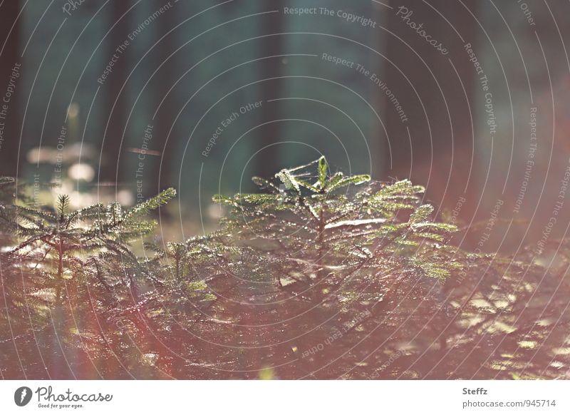 junge Tannen in warmem Nachmittagslicht Tannenbäume Jungbäume Nadelbäume Nadelwald Waldbaden heimischer Wald Waldstimmung Lichtschimmer Sommerwald achtsam