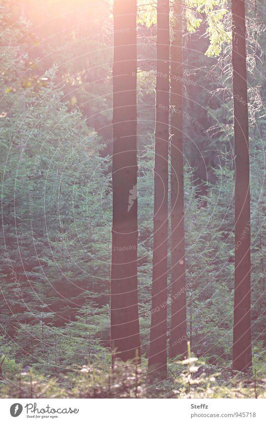 Lichteinfall im Nadelwald Waldbaden Sommerwald Lichtschimmer Stille im Wald Nadelbäume Naturerlebnis Ruhe im Wald besonderes Licht Bäume ruhig dunkelgrün