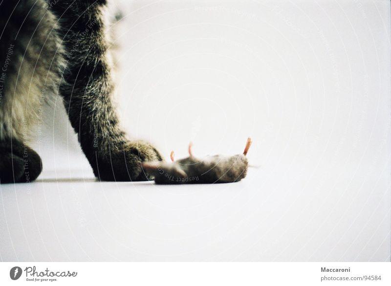 Mörder Katze Tod Spielen Beine Rücken Ernährung Fell Spielzeug Jagd Säugetier Bauch Pfote Maus Vegetarische Ernährung füttern