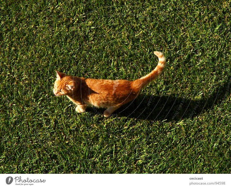copycat Tier grass orange shadow legs tale walk sun animal tangerine peacefull joy small morning mamal