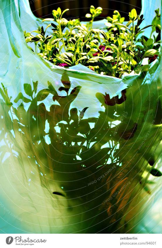 Blumentopf (transportbereit) Pflanze Grünpflanze Balkonpflanze Topfpflanze grün Blüte Verpackung passend Jubiläum Freudenspender Dekoration & Verzierung