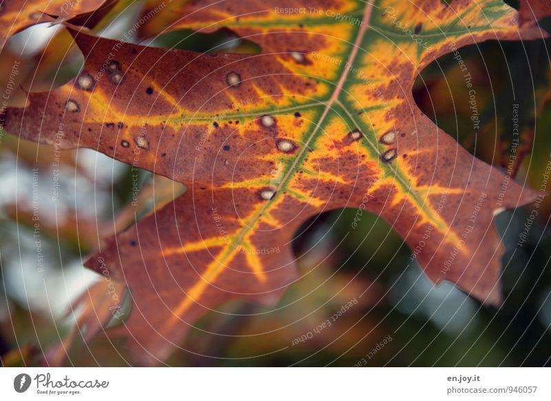 Sommer ade Natur Pflanze Herbst Klima Klimawandel Baum Blatt Roteiche alt braun gelb grün Vergänglichkeit Wandel & Veränderung Zeit Herbstlaub Eiche verwaschen