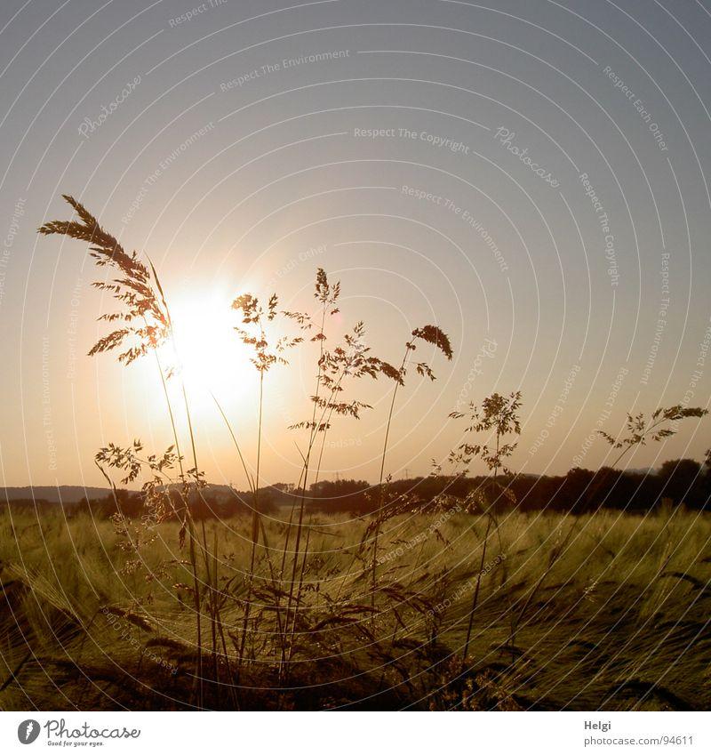 Gräser im Gegenlicht wachsen in einem Getreidefeld Gras Abendsonne Pflanze Gerste Feld Feldrand Wegrand Landwirtschaft Halm Stengel Blüte gelb grün braun