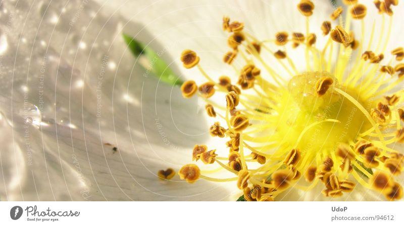 Rosentau weiß gelb Blüte Blütenblatt Frühling Makroaufnahme Nahaufnahme Stempel Detailaufnahme Seil Wassertropfen Regen