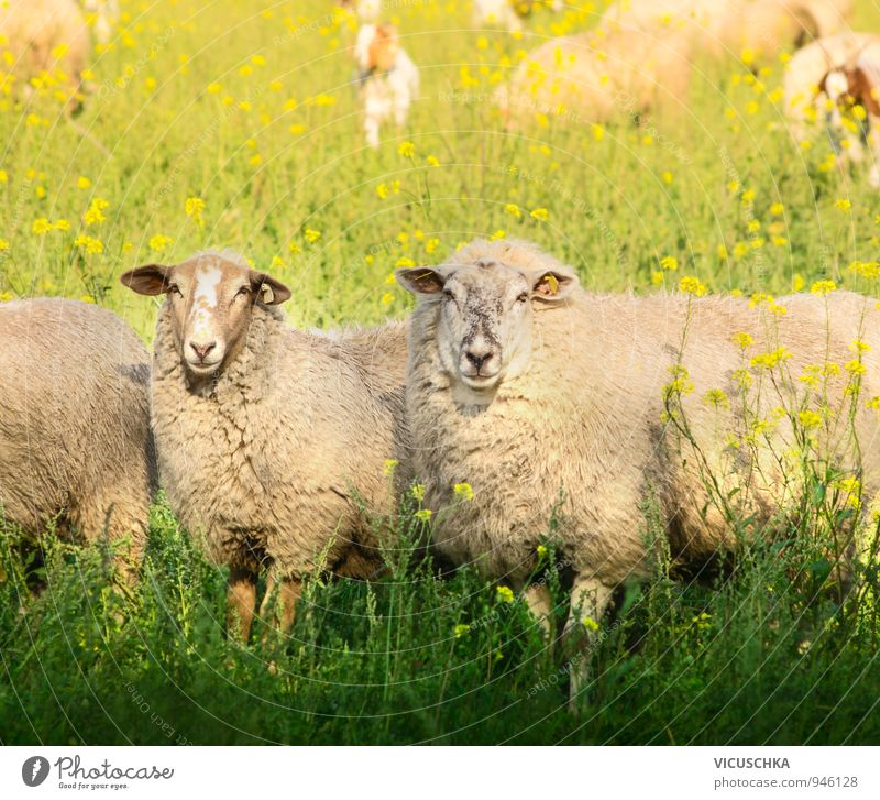 Zwei Schafe mit dickem Pelz auf Sommerweide Lifestyle Freizeit & Hobby Natur Frühling Herbst Schönes Wetter Wiese Feld Tier Nutztier 2 Liebe springen Weide Gras
