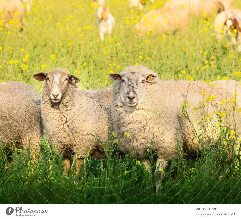 Zwei Schafe mit dickem Pelz auf Sommerweide Natur grün Sommer Blume Tier gelb Herbst Wiese Gras Liebe Frühling springen Lifestyle Freizeit & Hobby Feld hoch
