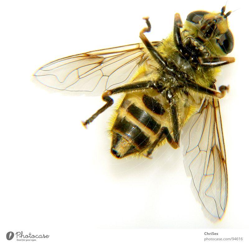 Grosse Schwebfliege 03 Wespen Schweben gelb schwarz Insekt Finger Tier Sommer Gliederfüßer Zweiflügler Angst Panik Makroaufnahme Nahaufnahme fauna frühling Auge