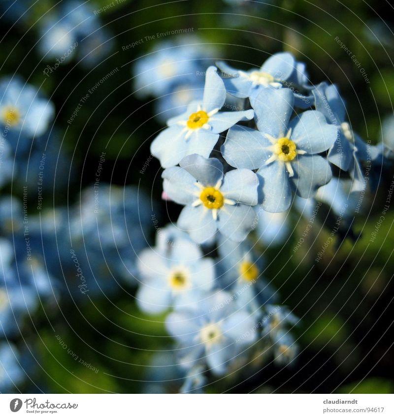 Erinnermich Natur Pflanze blau grün schön Blume Blüte Garten Blühend zart Botanik Blütenblatt zierlich Vergißmeinnicht
