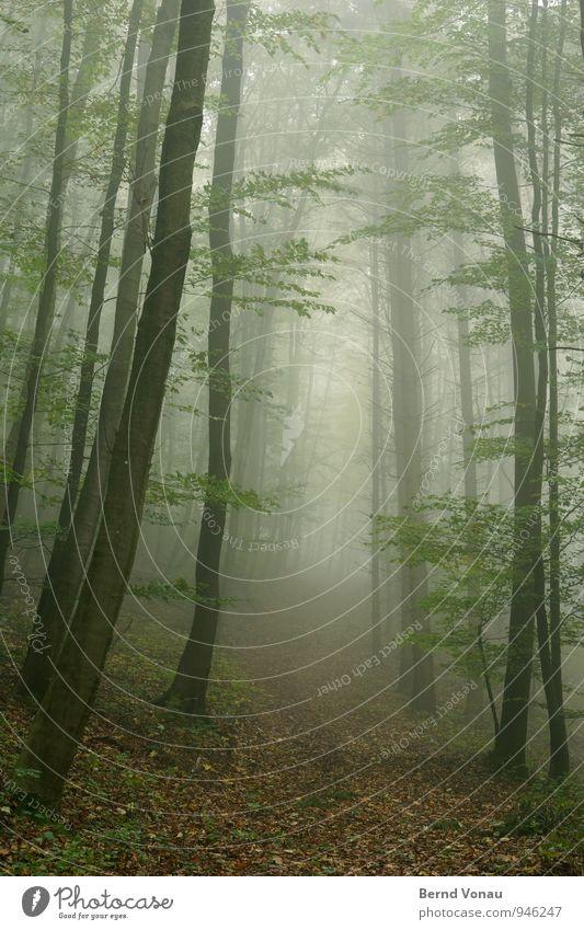 Fototapete Umwelt Natur Pflanze Herbst Klima Nebel Baum Wald Gefühle Stimmung ruhig grün hoch Herbstlaub Blatt Wege & Pfade Hügel Allee verträumt träumen