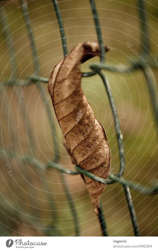 Herbstlich eingespannt Natur Pflanze Blatt Zaun Metall hängen dehydrieren trist trocken braun grün Zufriedenheit Pause Stimmung Herbstlaub Maschendrahtzaun