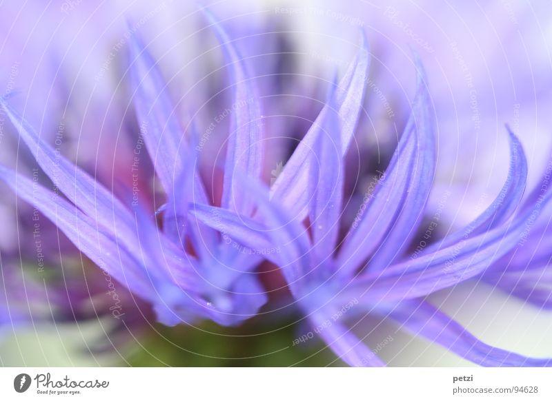 Blaue Strahlen Blume Pflanze Blüte Frühling Garten Streifen Spitze Blütenblatt Kornblume