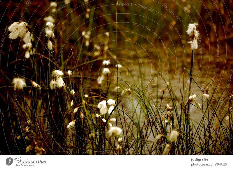 Gras grün Stengel Halm Ähren glänzend schön weich Rauschen Wiese zart beweglich sensibel federartig Pflanze Sommer Vergänglichkeit Pollen rispe rispen flimmer