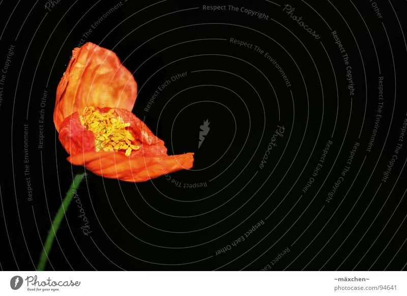 Poppy Mohn Blüte Stengel rot gelb grün Frühling Makroaufnahme Nahaufnahme orange red Blühend abnegern welk