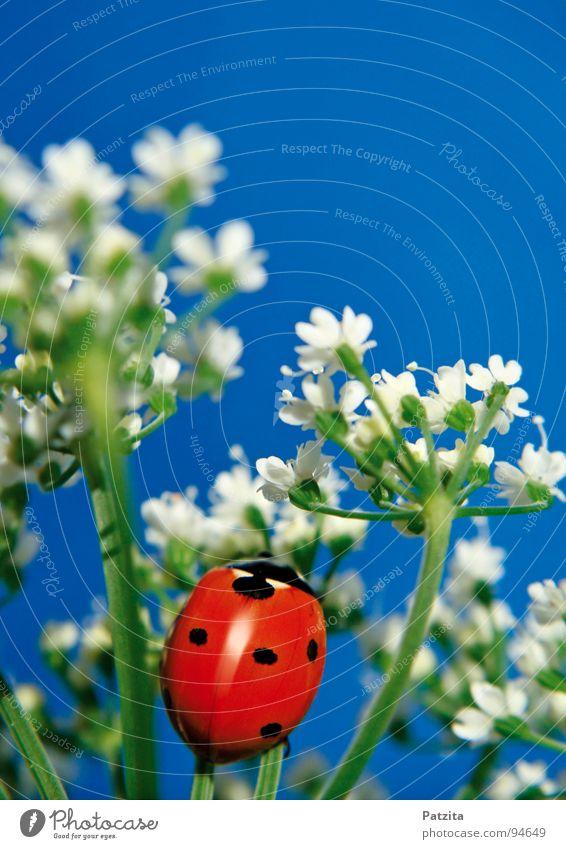 So klein, so süß, so krabbelig Marienkäfer Insekt rot Sommer Frühling Blume weiß Wiese Gras Halm Makroaufnahme Nahaufnahme Käfer Himmel blau