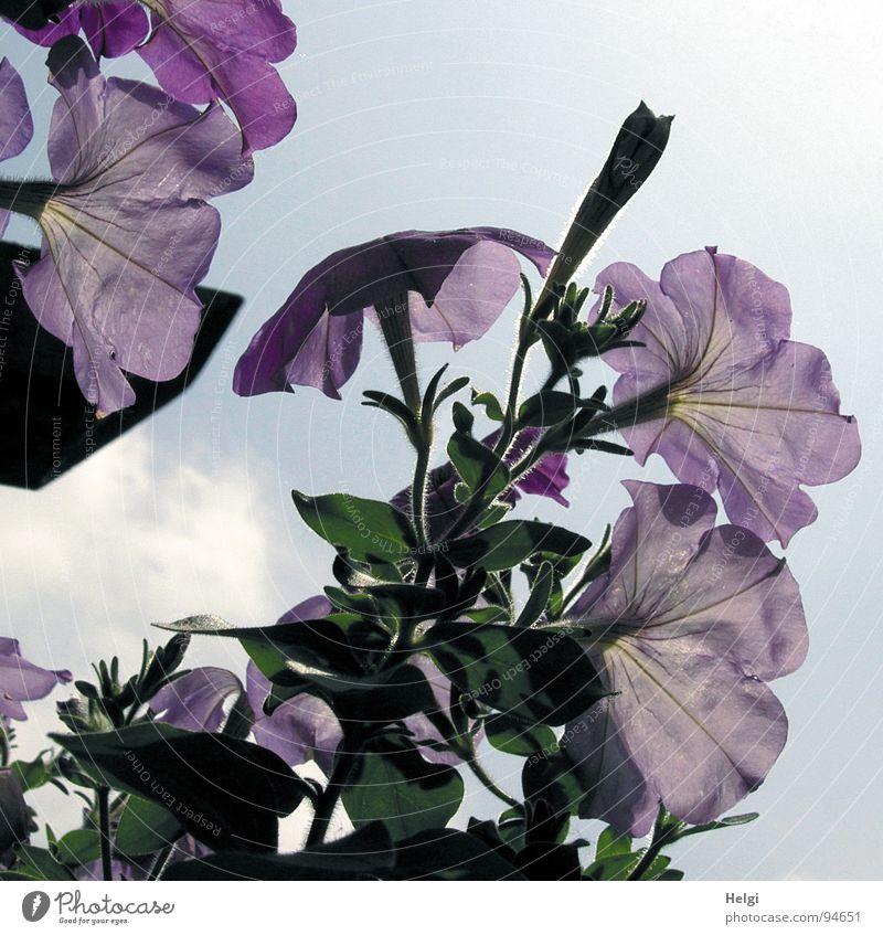 zarte Blüten Blume Petunie violett Stengel Blühend geschlossen Wolken weiß Vergänglichkeit frisch Sommer Sonne dunkel Licht Garten Park Himmel Blütenknospen