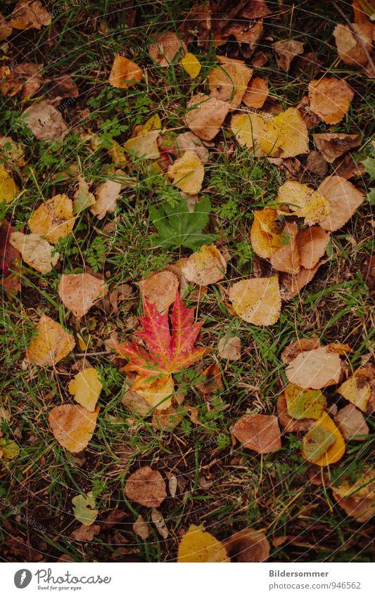 Herbstlaub Natur Pflanze Wetter Blatt Wiese fallen liegen braun gelb grün orange rot Senior Ende Umwelt Verfall Vergänglichkeit herbstlich färben Herbstbeginn
